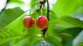 Cherries in the cherry tree Royalty Free Stock Photos