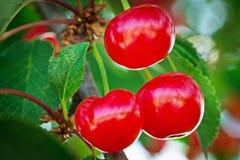 Cherries. Close up of cherries on tree Stock Photos