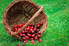 Cherries. Dumped out of basket Stock Photography