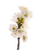 Cherries flowers Stock Photo