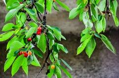Cherries. Fresh organic red cherries on the tree Royalty Free Stock Image