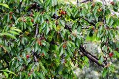 Cherries. Fresh organic red cherries on the tree Royalty Free Stock Photography