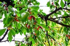 Cherries. Fresh organic red cherries on the tree Royalty Free Stock Photo