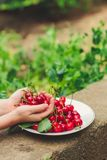 Cherries, fruit berries, harvest ripe and juicy fruits. top copy space. food background. Cherries, fruit berries, harvest ripe and juicy fruits. topncopy space stock photography