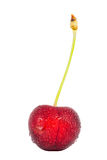 Cherries fruit with water drops isolated Stock Photography