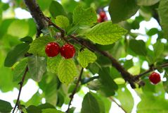 Cherries fruits Stock Photography
