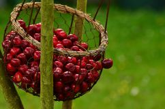 Cherries, Fruits, Sweet Cherry Stock Image