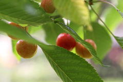 Cherries in garden stock photos