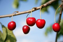 Cherries in the garden Royalty Free Stock Photography