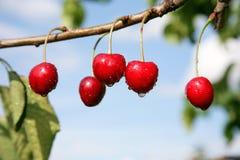 Cherries in the garden Stock Images