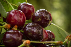 Cherries in the garden Stock Photography