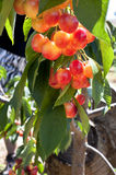 The Cherries. At the cherries gardens in Israel Stock Photos