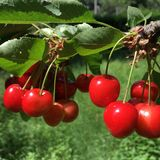 Cherries groups on a tree. Two groups of wonderful red cherries still hanging on tree Royalty Free Stock Photos