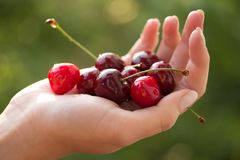 Cherries in hand Stock Photo