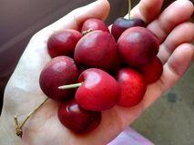 Cherries in a hand Stock Image
