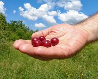 Cherries in the hand of a man with a clear blue sky background