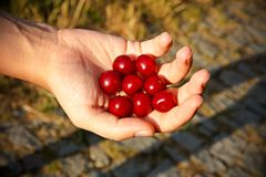 Cherries in hand Royalty Free Stock Photography