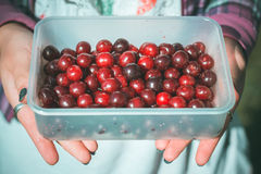 Cherries in the hands of a girl. Collected a full container for food ripe cherries in his garden Stock Photography