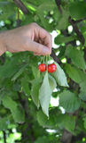 Cherries on hands Royalty Free Stock Image