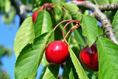 Cherries hanging from a branch Stock Image