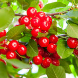 Cherries hanging on a branch Royalty Free Stock Images