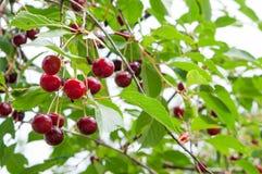 Cherries Stock Image