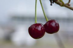 Cherries hanging on a cherry tree branch. Red cherries hanging on a cherry tree branch Royalty Free Stock Photo