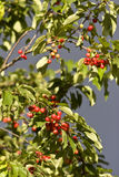Cherries hanging on a tree Stock Images