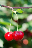 Cherries hanging on a tree branch Royalty Free Stock Image
