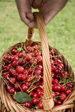 Cherries harvest Royalty Free Stock Photo