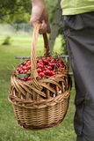 Cherries harvest. Hands holding basket Royalty Free Stock Photo
