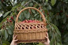 Cherries harvest. Hands holding basket Stock Photo