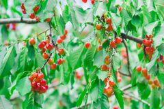 Cherries In The Garden Royalty Free Stock Images