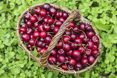 Cherries in a large wicker basket Stock Image