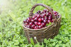 Cherries in a large wicker basket Stock Photos