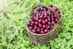Cherries in a large wicker basket Royalty Free Stock Photo