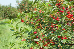Cherries  orchard. Ripening cherries on orchard trees Royalty Free Stock Photos