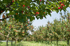 Cherries on orchard tree Royalty Free Stock Images