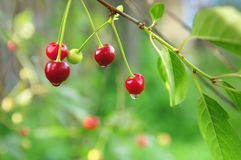 Cherries after the rain Stock Image