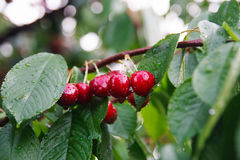 Cherries after rain Royalty Free Stock Image