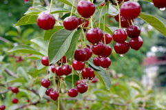 Cherries in the rain. Stock Photos