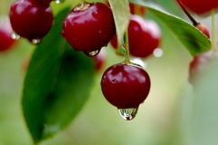 Cherries in the rain. Royalty Free Stock Photography