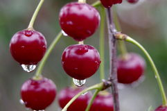 Cherries in the rain. Stock Photo