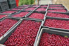 Cherries ready for the Market stock images