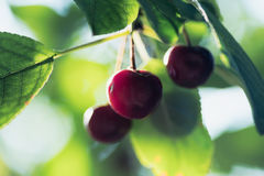 Cherries. Red ripe cherries on a tree branch Stock Images
