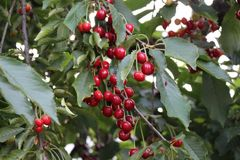 The cherries are ripe on the tree royalty free stock image