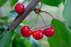 On  cherries ripen good juicy red berries_. On  cherries ripen good juicy red berries Stock Photo