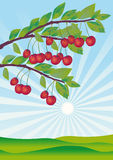 Cherries ripened in a garden Royalty Free Stock Image