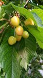 Cherries ripening on tree Royalty Free Stock Images