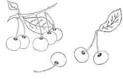Cherries sketch Royalty Free Stock Image